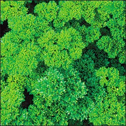 Plant - Parsley - Curly Leaf - Organic