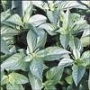 Cut Herb - Lime  Basil - Organic - Bag