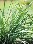 Cut Herb - Lemon Grass - Organic - Bunch