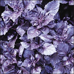 Cut Herb - Purple Basil - Organic - Bag