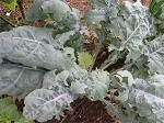 Kale - Organic - Curly Leaf - 5 oz. bunch