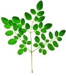 Moringa Leaf - Organic - Dried - 1 oz.